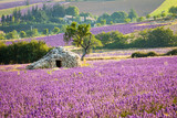 Lavender field with stone cottage, Provence, France, 2013 - 134067246