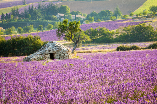 Canvas Lavendel Lavender field with stone cottage, Provence, France, 2013