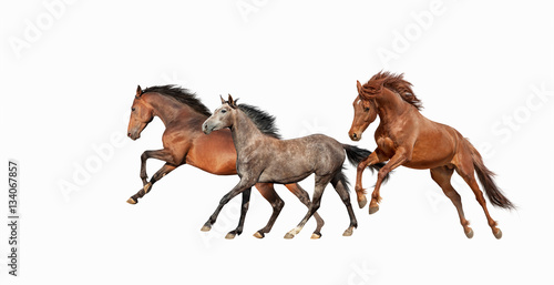 Herd of beautiful horses that gallop isolated on white background Poster