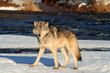 Gray Wolf by a River