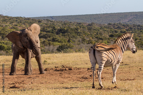 Poster Elephant calf encounters zebra
