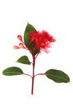 Red flowering Eucalyptus on white vertical image - 134082447