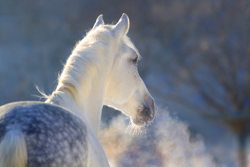 White horse portrait with steam from nostril at sunset light