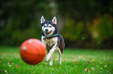 Husky spielt mit einem Basketball