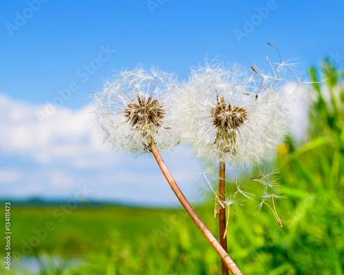 Two dandelion