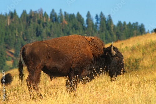 Bull Bison in the Magic Light