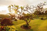 Plumeria tree on seaside near Tanah Lot temple. Bali, Indonesia.