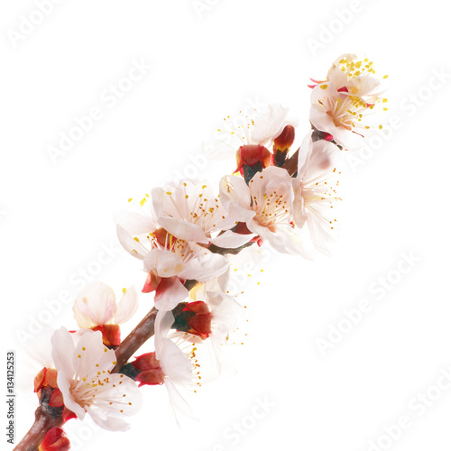 Poster Almond white flowers
