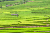 GreenTerraced rice fields in northern Thailand