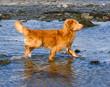 Dog playing, running and splashing on the beach. A Nova Scotia Duck-Tolling Retriever.
