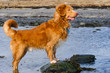 Dog playing, running and splashing on the beach. A Nova Scotia Duck-Tolling Retriever.