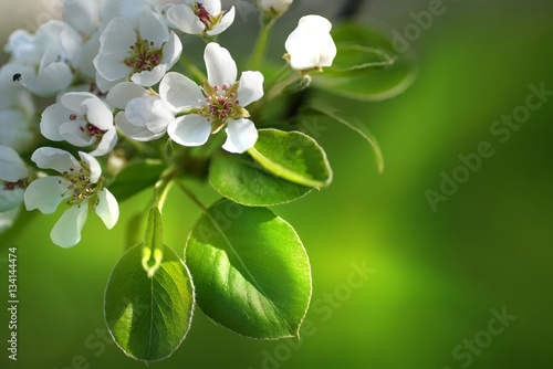 Spring border template wallpaper with a branch of a blossoming apple tree close-up macro on a soft blurred green background. Apple tree in bloom.