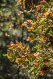 Monarch Butterflies on tree branch, Michoacan, Mexico