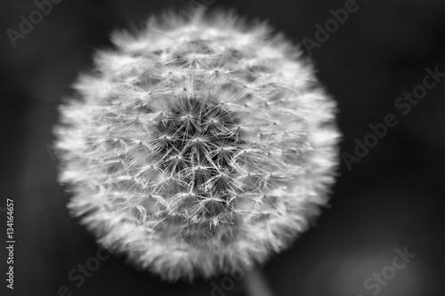 Dandelion seeds © matteosan