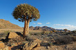 Desert landscape with with quiver trees (Aloe dichotoma), Northern Cape, South Africa .
