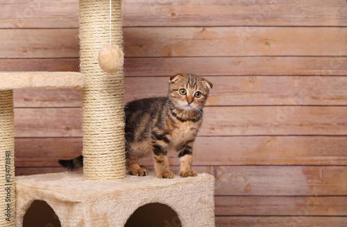 Poster Scottish fold kitten playing