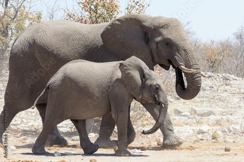 Poster Elephants in Etosha park Namibia