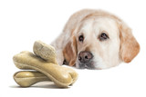 Closeup view of the Golden Retriever Dog lying on the white background. Pile of dog bones is in front of the dog