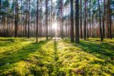 Wschód słońca w lesie sosnowym