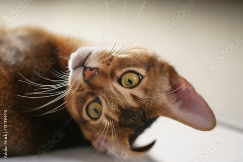 Poster young abyssinian cat lying on the floor, shallow focus portrait