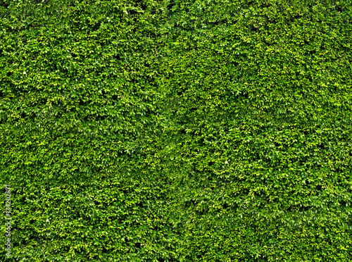 Aluminium Textures Green leaf wall. Natural fresh leaves background and texture