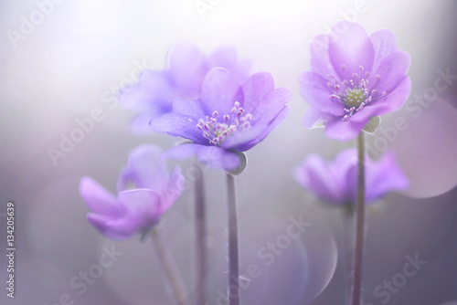 Fototapety, obrazy : Spring blooming forest flowers in soft focus on light violet background outdoor close-up macro. Spring template floral background wallpaper. Elegant gentle air delicate artistic image.