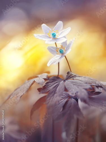 Fototapety, obrazy : Spring two blooming forest flowers in soft focus morning at sunrise in sun outdoor close-up macro. Spring template floral background wallpaper. Elegant gentle romantic delicate artistic image love.