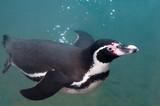 Penguin, swimming