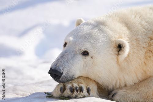 Aluminium Ijsbeer 雪の上のシロクマ