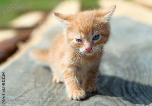 Poster ginger small kitten playing in the street