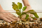 hands of aquarist planting water plant echinodorus in aquarium - 134238207