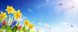 Spring And Easter Banner - Daffodils In The Fresh Lawn With Fly of Swallow - 134240867