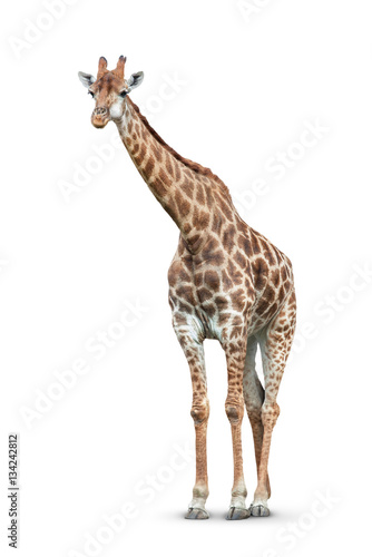Fototapeta giraffe on white background
