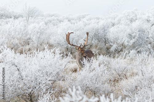 Fallow deer in wintertime in a white landscape Poster