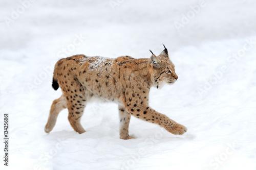 Poster Lynx