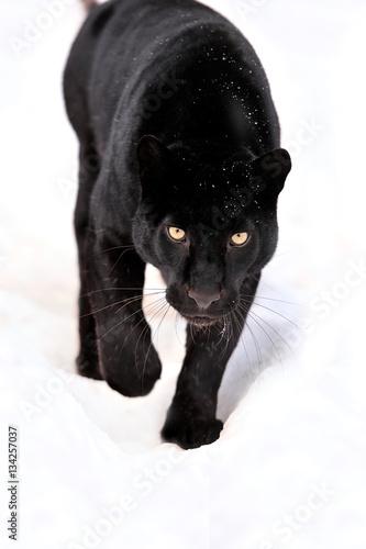 Papiers peints Panthère Leopard portrait