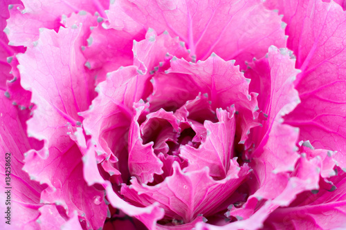 Plexiglas Roze colorful of cabbage for garden or park