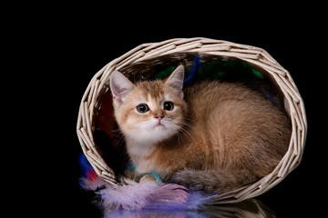 Tabby Scottish kitten