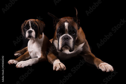 Poster German Boxers