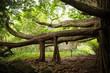 Amazing banyan tree in Haleakala National Park