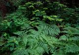 Bracken Fern, hemlock boughs, and huckleberry, Hoh Rain forest, Olympic National Park, WA