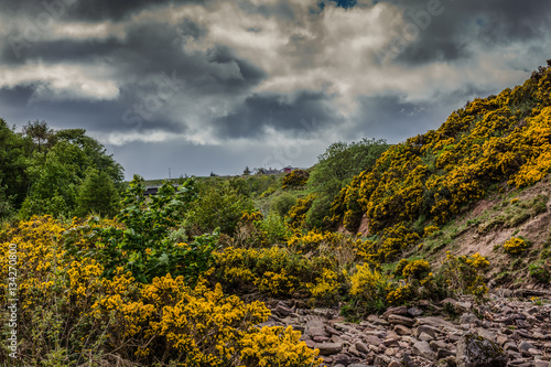 Poster Dunbeath, Scotland - June 4, 2012: Nasty threatening dark thunder skies over a dry brown rocky creek bed with plenty of wild yellow broom flowers at its slopes