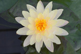 Beautiful water lily bloom in the pond in the summer