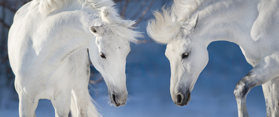 Two white horse portrait in blue winter background. Banner for web