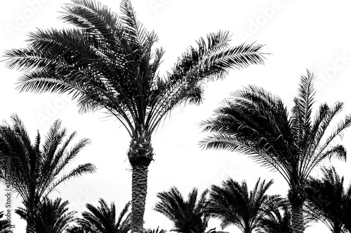 black and white palm trees - 134319465