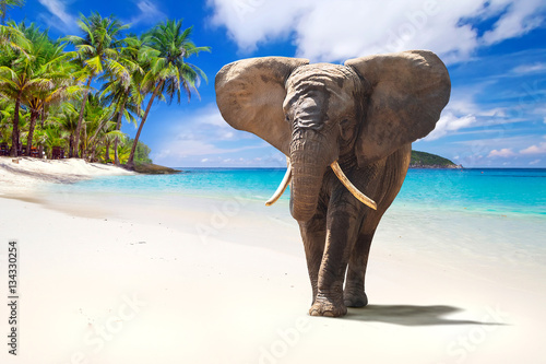 Poster African elephant walking on tropical beach
