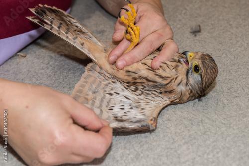 La consultation vétérinaire pour les buses, pigeons, poules, oiseaux, rapaces, est très importante pour la santé de cet animal et les basses cours Poster