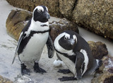 Two african penguins with egg at Boulders Beach (Simon's Town, South Africa)