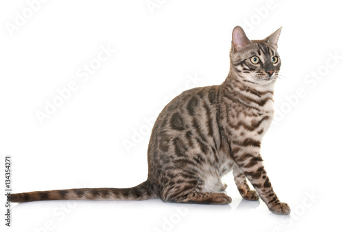 Poster bengal cat in studio
