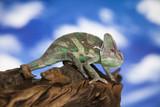 Sky background, reptile, Chameleon lizard